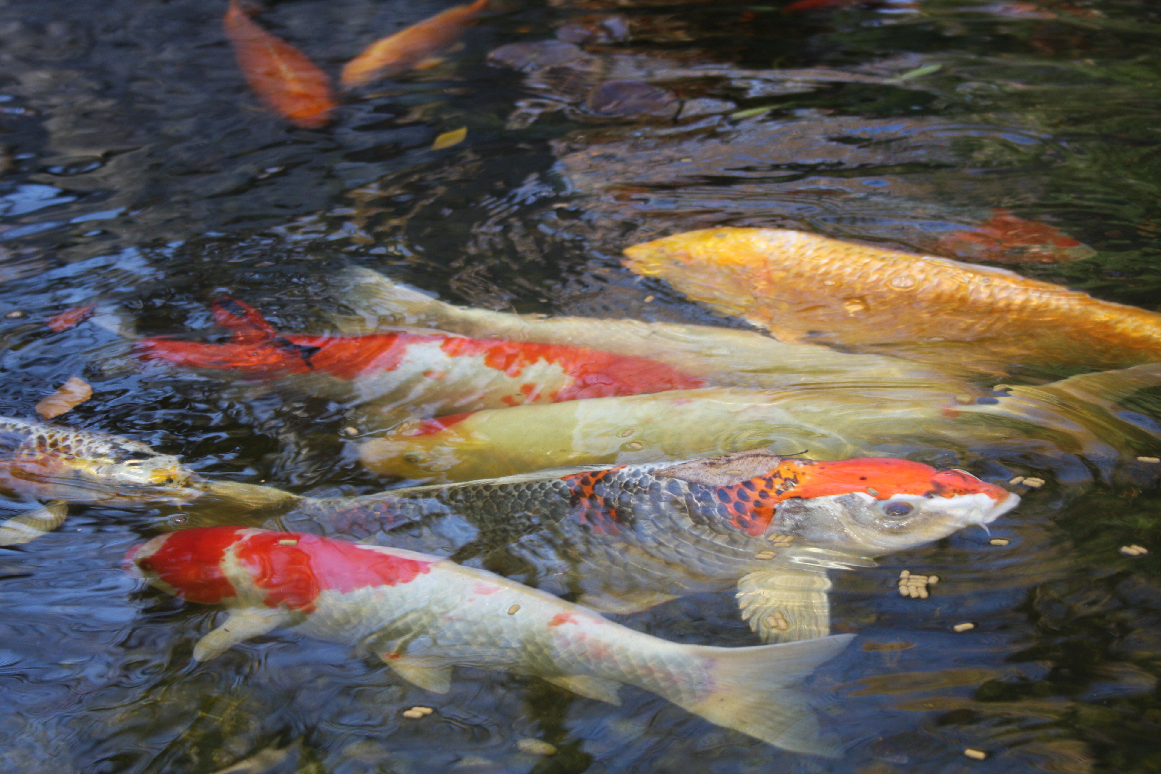 Koi fish pond waterfall best waterfall 2017 for Koi fish pool