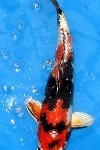kin showa link 100x150 Types of Koi