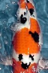 sanke link1 100x150 Types of Koi